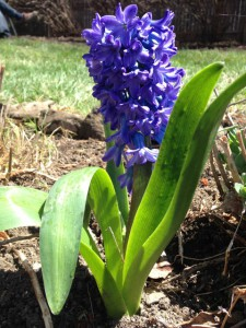was happy to see that we have hyacinths in our yard. We moved into ...